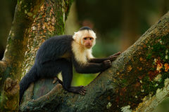 Green wildlife of Costa Rica. Black monkey White-headed Capuchin sitting on the tree branch in the dark tropic forest. Monkey Whit. Green wildlife of Costa Rica stock photos