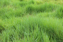 Green wilg herb Stock Photography