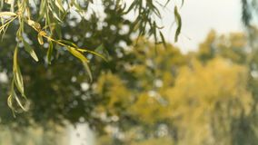 Green willow against blurred trees and sky. Green willow branches. Close-up. The branches are moving from wind. Summer tree with green leaves in sunlights in the stock video footage
