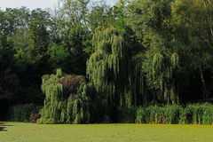 Green willow on the bank of a pond Royalty Free Stock Photo