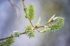 Green willow blossom bloom branch close-up. Detail stock photos