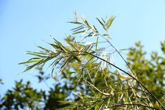 Green willow branch. Green branch on blue sky background royalty free stock images