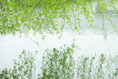 Green willow branch reflection in the water Stock Photography