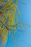 Green willow branches in spring. In front of a blue sky stock photo