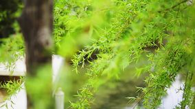 Green willow branches on a tree. In the forest stock video footage
