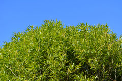 Green willow foliage against blue sky. Branches with young leaves. In spring royalty free stock photography