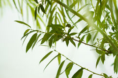 Green willow foliage. Nature abstract verdure backdrop: pattern of weeping willow branches and green leaves closeup over light background royalty free stock image
