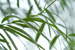 Green willow foliage Stock Image