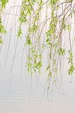 Green willow and lake Royalty Free Stock Images