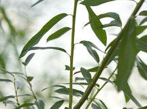 Green willow silhouette Royalty Free Stock Photography