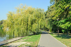 Green willow tree near lake, park with alley. Stock Image