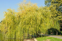 Green willow tree near lake, park with alley.  stock images