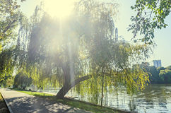 Green willow tree near lake, sun rays lights.  royalty free stock images