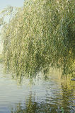 Green willow tree near water lake, close up Royalty Free Stock Photo