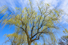 Green willows. Green willow sprout in the spring stock image