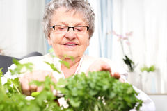 Green windowsill, cultivation herbs at home. An elderly gray haired woman cut green shoots of herbs Royalty Free Stock Photos