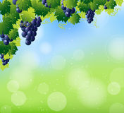 Green wine and bunch of blue grapes Stock Images