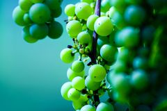 Green wine grape cluster Royalty Free Stock Photos