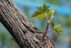 Green wine grape leaf. Green grape leaf in the blue background Royalty Free Stock Photos