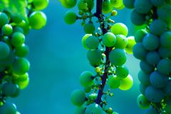 Green wine grape leaf Royalty Free Stock Photos