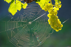 Green Wine Grape And Spider Web Stock Photography