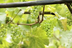 Green wine grapes. In summer in the Rheingau area, Hesse, Germany Royalty Free Stock Images