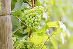 Green wine grapes. In summer in the Rheingau area, Hesse, Germany Stock Photos