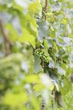 Green wine grapes. In summer in the Rheingau area, Hesse, Germany Royalty Free Stock Photos