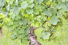 Green wine grapes. In summer in the Rheingau area, Hesse, Germany Royalty Free Stock Photography