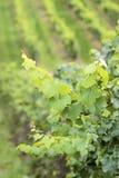 Green wine grapes. In summer in the Rheingau area, Hesse, Germany Stock Photo