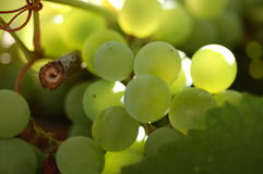 Green wine grapes stock photo