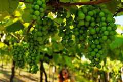 Green Wine Grapes Stock Photography
