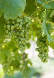 Green wine grapes. Beautifull glowing green wine grapes Stock Images