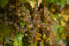Green Wine Grapes Closup with Bokeh royalty free stock image