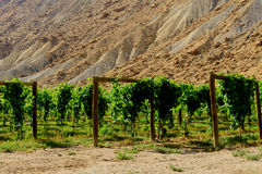 Green wine grapes ripening on the vine Royalty Free Stock Photos