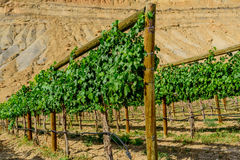 Green wine grapes ripening on the vine Stock Photos