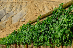 Green wine grapes ripening on the vine Stock Images