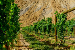 Green wine grapes ripening on the vine Royalty Free Stock Image