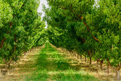 Green wine grapes ripening on the vine Royalty Free Stock Photo