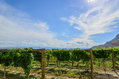 Green wine grapes ripening on the vine Stock Image