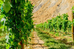 Green wine grapes ripening on the vine Royalty Free Stock Photography