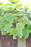 Green wine grapes Stock Images