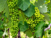 Green wine grapes swelling on the vine. Stock Photography