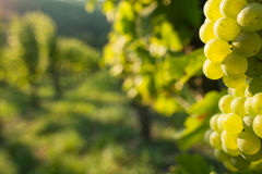 Green wine grapes in a vineyard Stock Photos