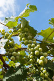 Green Wine Grapes. Vinyard, Green Grapes.Green wine grapes ripening on wild vines Royalty Free Stock Images