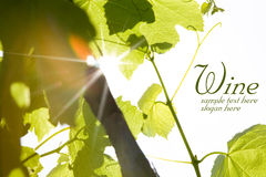 Green wine leaves Royalty Free Stock Image