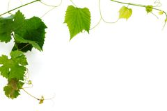 Green wine leaves Royalty Free Stock Photos