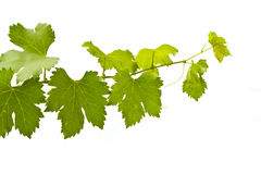 Green wine leaves Royalty Free Stock Photography