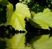 Green wine leaves. Reflecting in water Royalty Free Stock Images