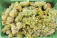Green wine producing chenin gapes Stock Photo